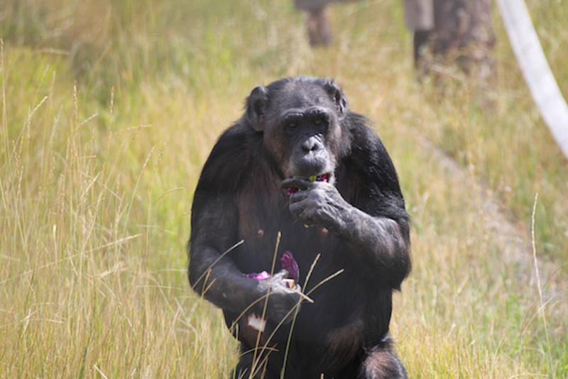 Chimps are Just Like Us (PHOTOS)