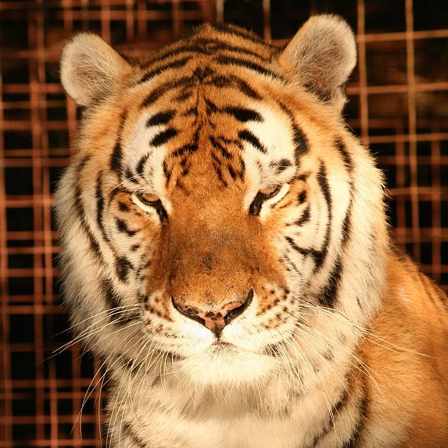 Why the U.S. Needs to Ban Big Cat Ownership