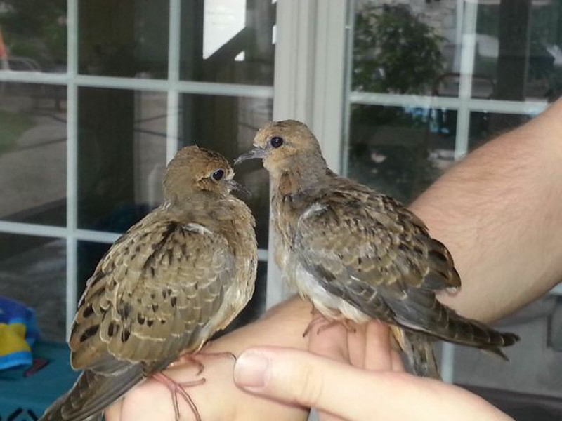 This Caring Person Raised two Baby Birds by Hand When a Storm Knocked Them From Their Nest.