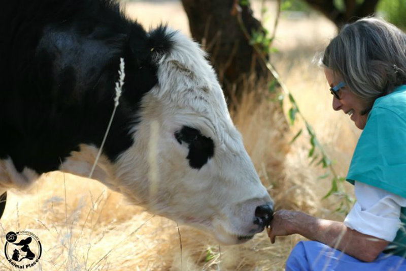 3 Rescued Cows and Their Human Best Friends
