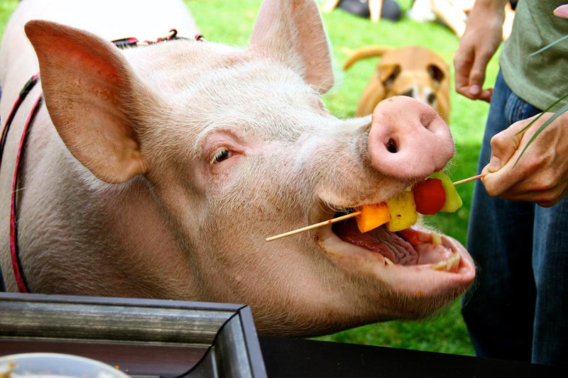 The Times They are A-Changin':The Day I Attended a Pig's Birthday Party