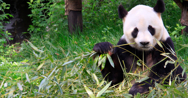 Is Captive Breeding Actually Helping the Giant Panda?