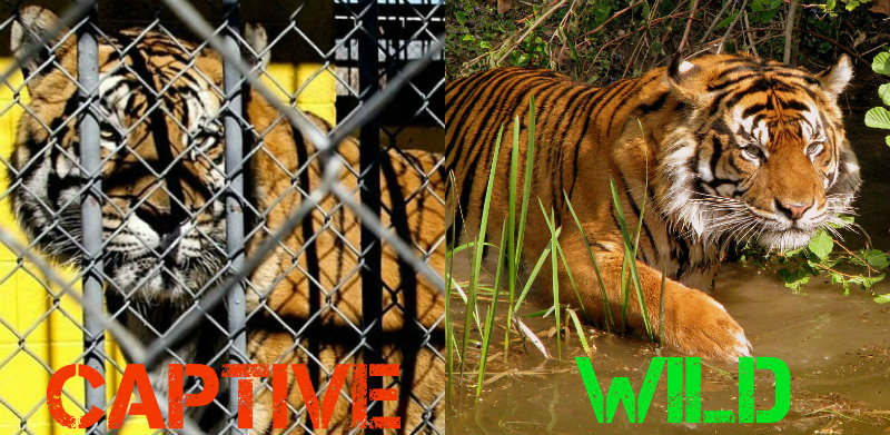 The Life of Animals in Captivity Versus the Wild