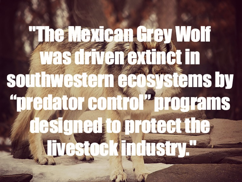 "Grazing Cattle: The New ""Invasive Species"""