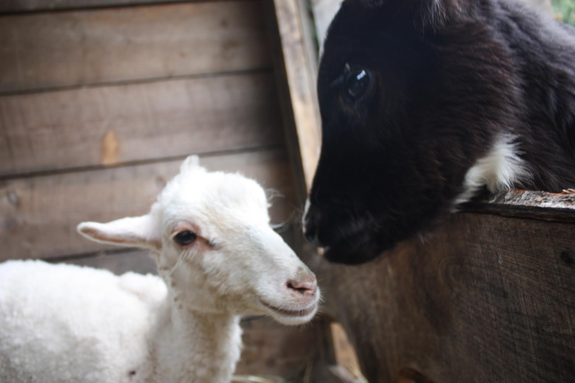 Rescued Calf and Disabled Lamb Become Best Friends