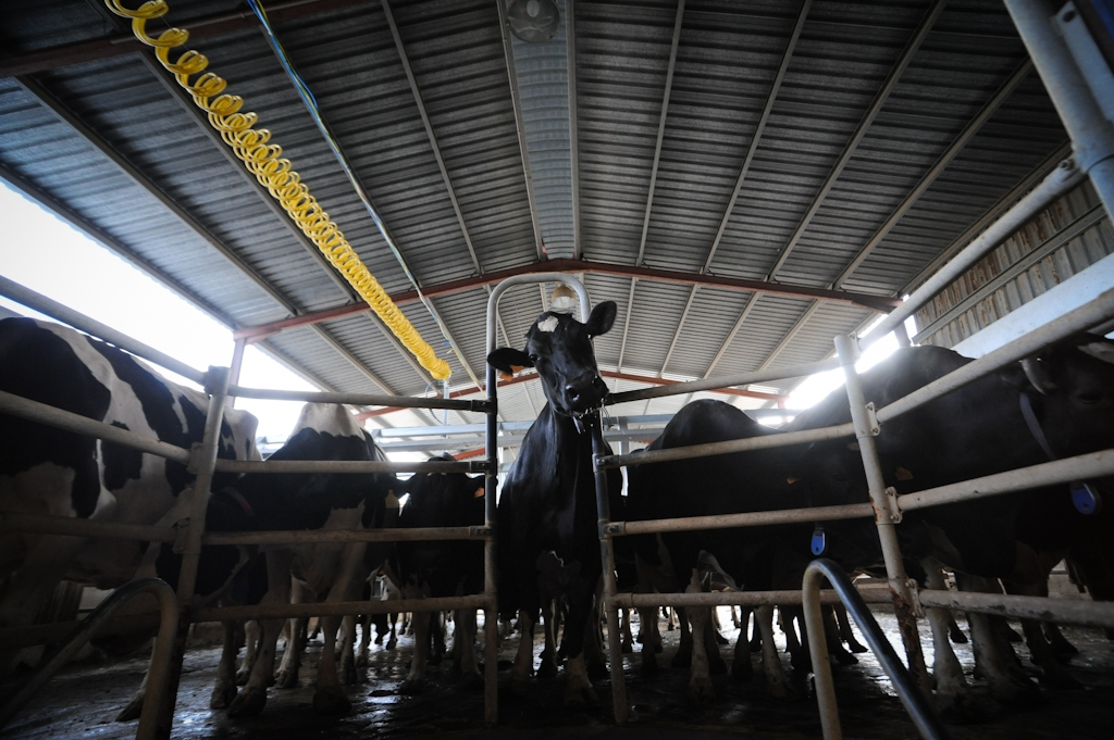 The Lifecycle of a Factory Farmed Cow