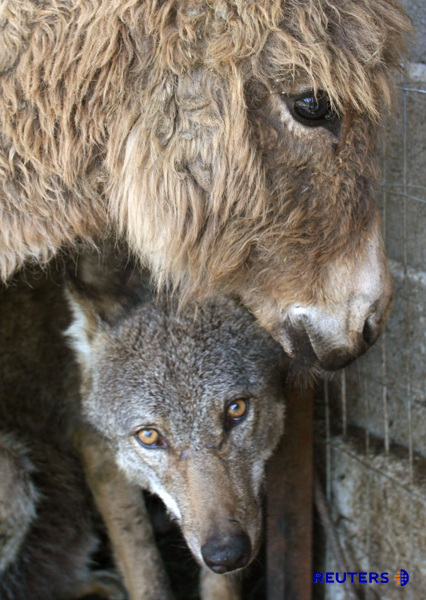This Donkey Was Supposed to be a Live Meal for a Wolf, But Became His Best Friend Instead