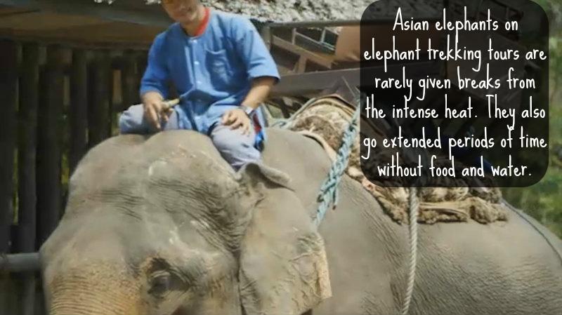 Secrets Behind Thailand's Elephant Tourism