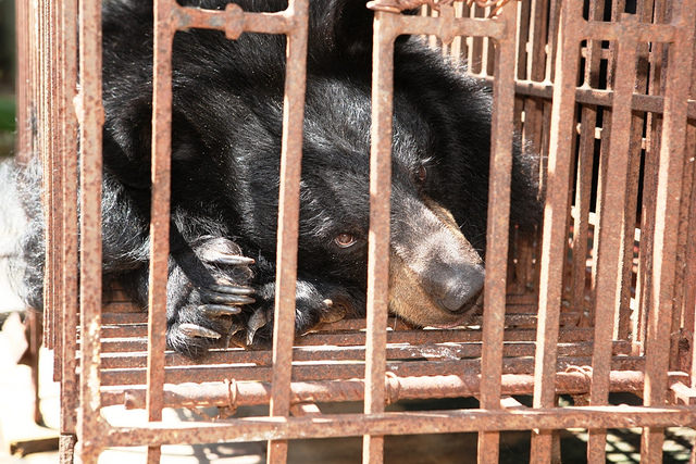 Why Bear Bile Farming Persists in Vietnam
