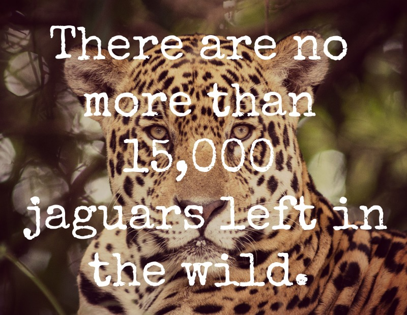 Why Saving One Million Acres is the Key to Bringing Back the Jaguar