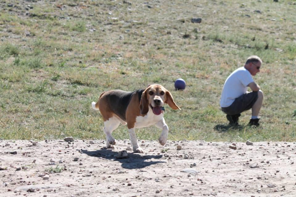 Rescued Beagles