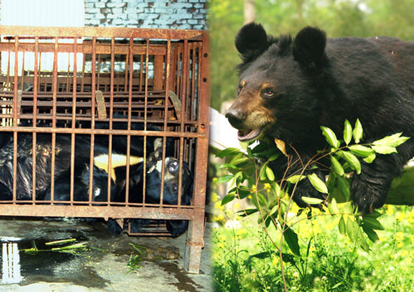 5 Ways You Can Help End Bear Bile Farming