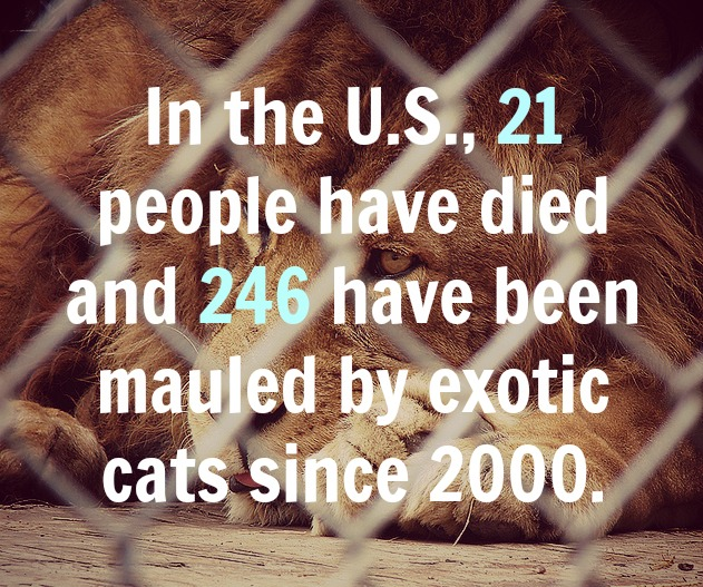 The Big Cat in Your Backyard: A Look at the Captive Exotic Cats Living in the U.S.