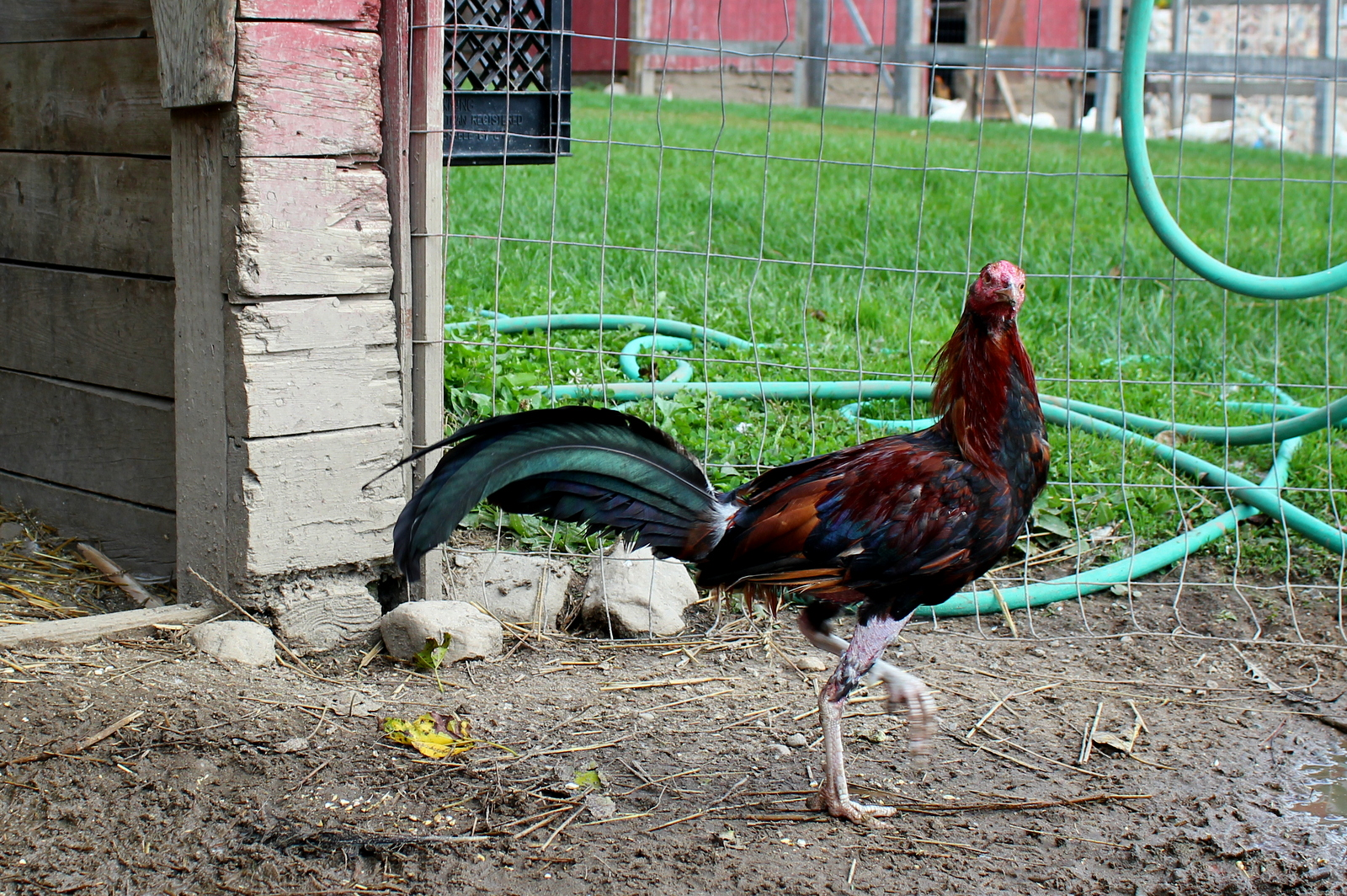The Cleveland Twelve: Rehabilitating Cock-Fighting Roosters