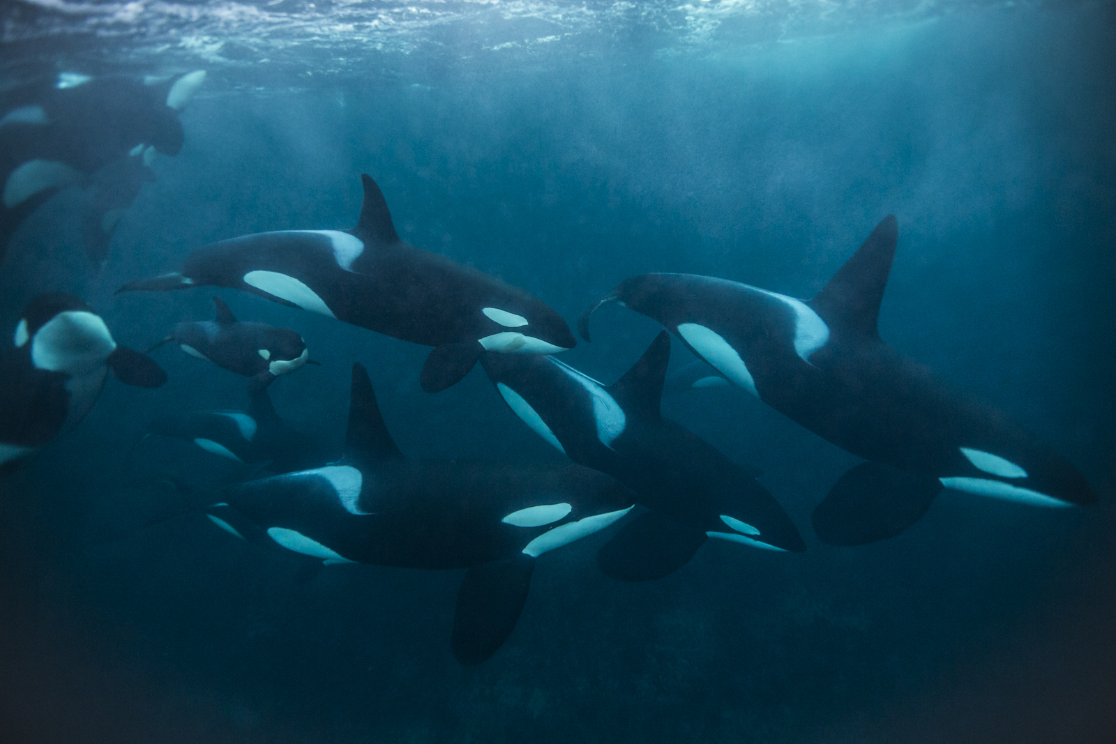 Now for Norway- Check out these incredible images of feeding orcas and humpback whales