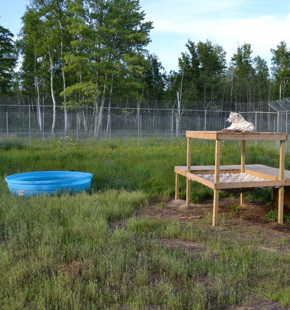 My Life in Captivity: Through the Eyes of Nikita the White Tigress