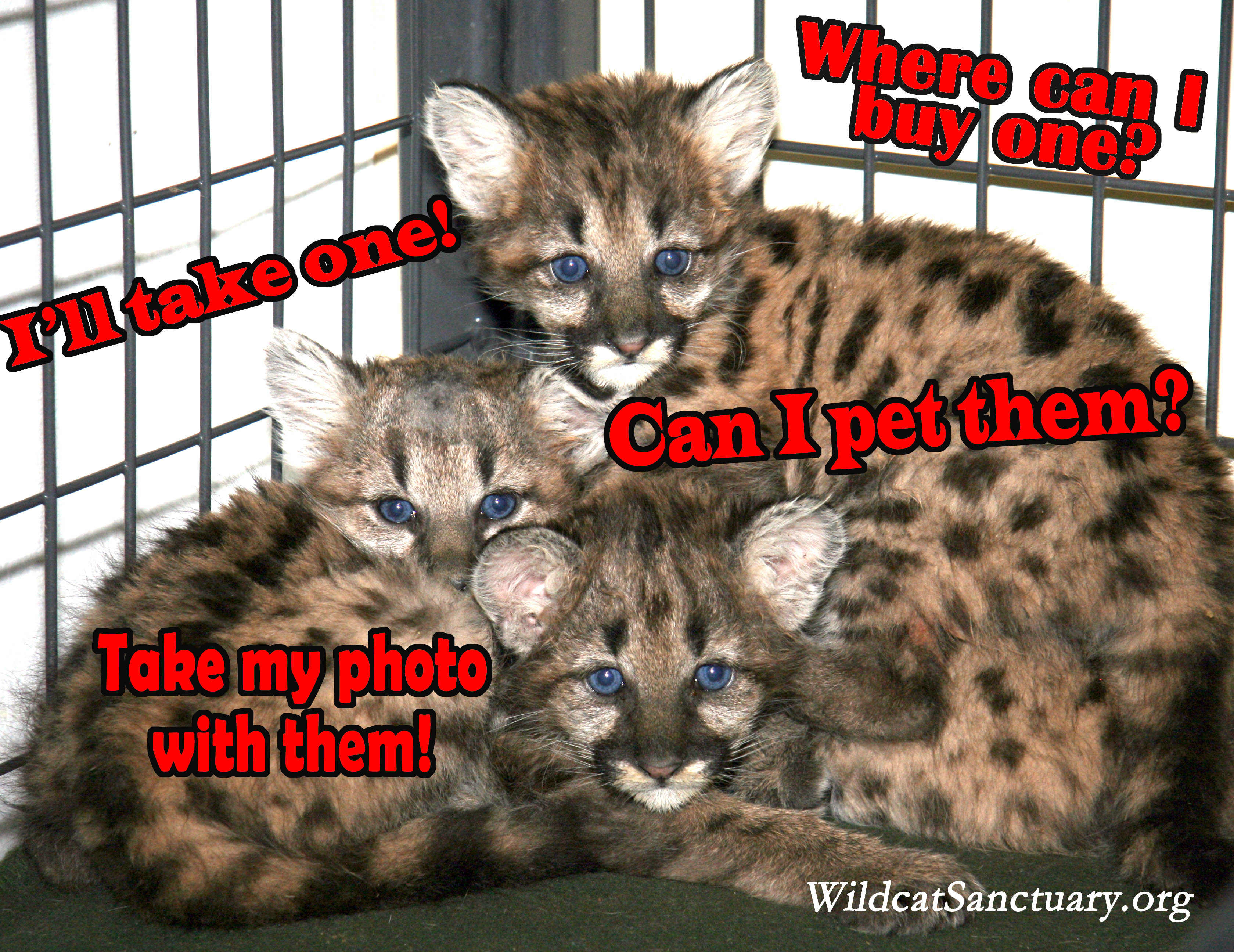 "How Comments Like ""I Want One"" Harm Wild Cats"