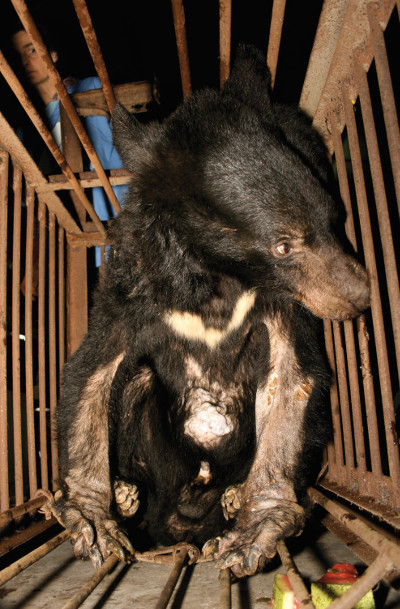5 Things You Need to Know About Bear Bile Farming