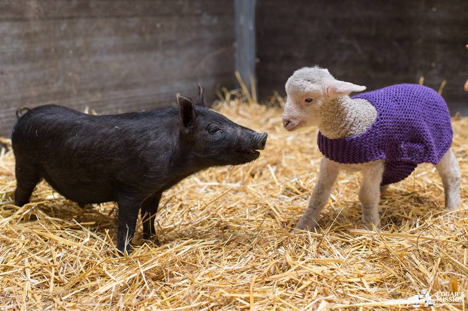 After Escaping Life on a Farm, Winifred P. Piglet Learns to Enjoy the Simple Things