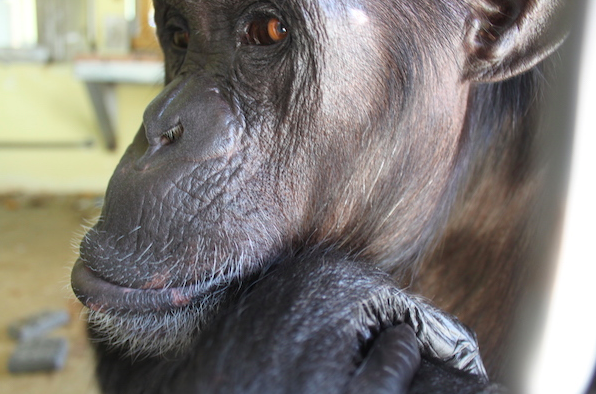 After 18 Years in a Roadside Zoo, Terry the Chimp Learns What it Means to be Free!