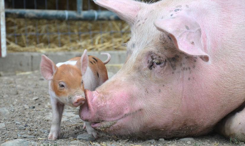 Amazing Rescue Pigs