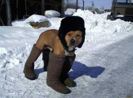 dog-wearing-boots