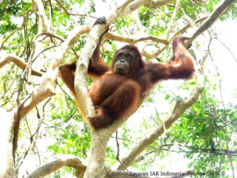 Peni the Orphaned Orangutan