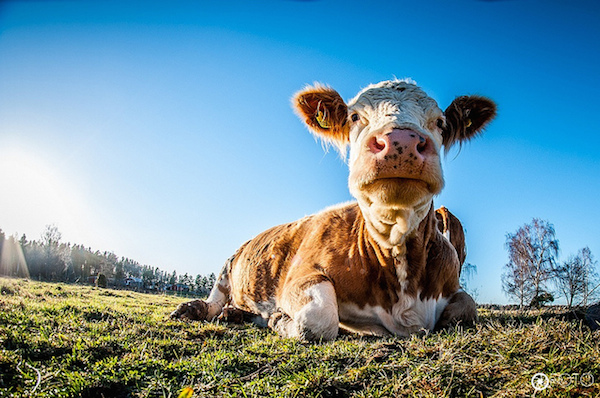 These Farm Animals Are Smarter Than You Think