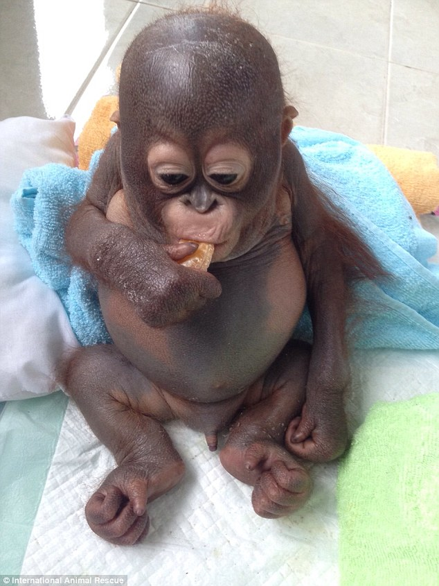 UPDATE: Budi the Rescued Orangutan Lifts Bottle On His Own For the First Time! (VIDEO)