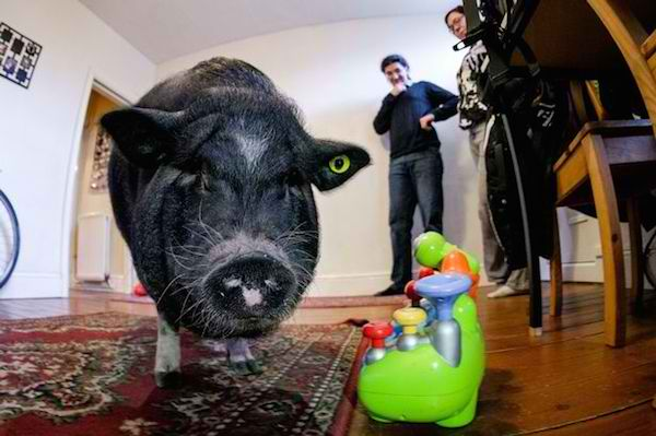 Ludwig, the Heroic Pot-Bellied Pig, Stops Robbers in Their Tracks