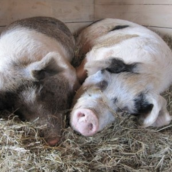 Peggy Sue and Nadine the Pigs are Enjoying Life, Teaching People About the Farm Industry