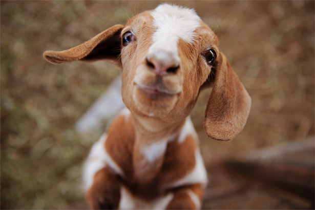 Goat Consumption on The Rise in The United States. We Wish We Were Kid-ding.