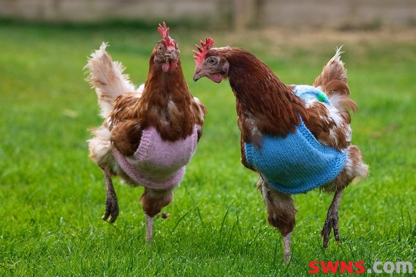 Hens Who Escaped Battery Cages