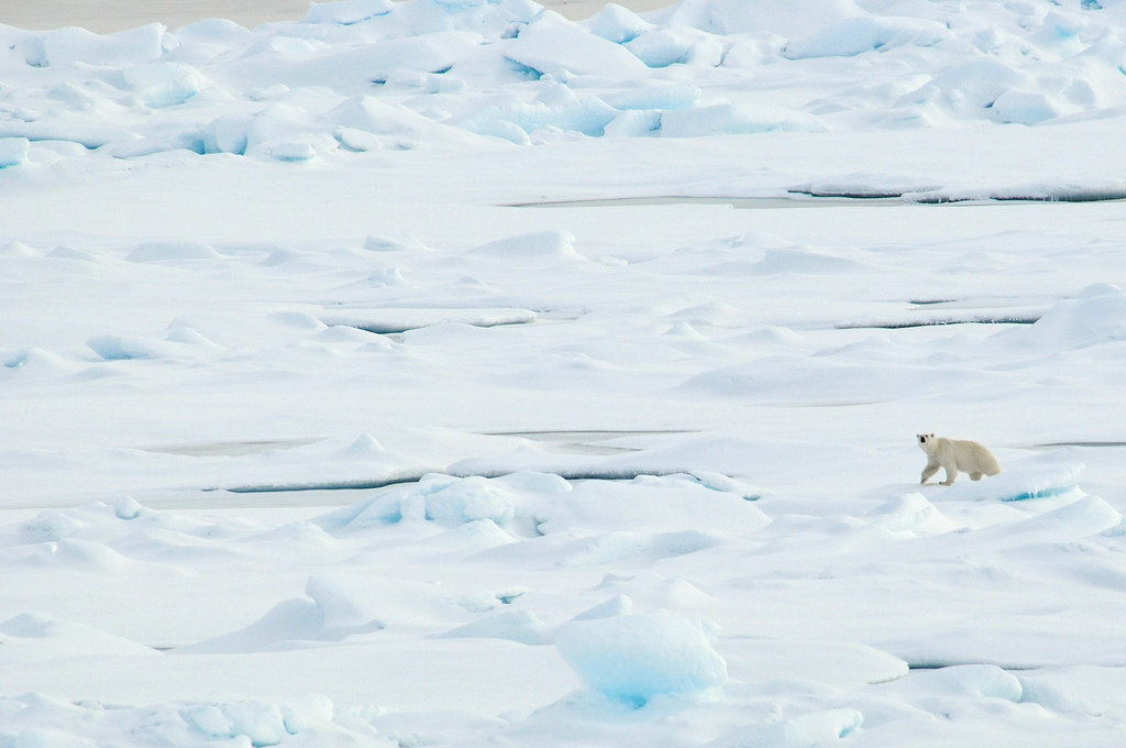 How Saving Our Rainforests Could Determine the Fate of the Polar Bear Species