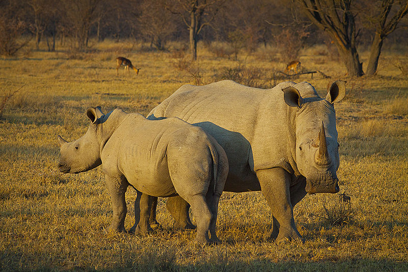 800px-White_rhino_and_young