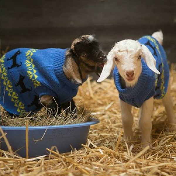 After Being Attacked by a Bird of Prey, Two Baby Goats Are Recovering at Their New Sanctuary Home (VIDEO)