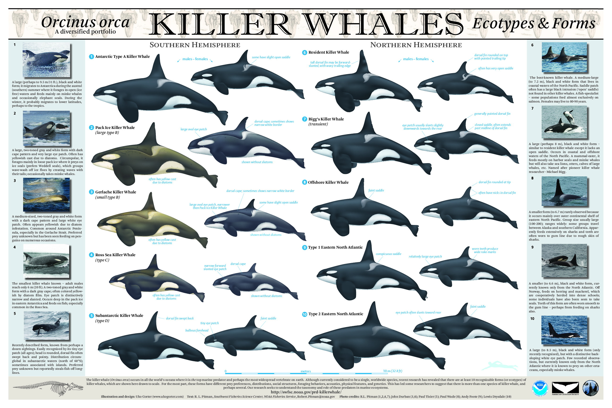 What Taking Orca Whales From the Wild for Captivity Does to Wild Pods