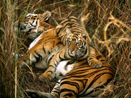 How Life for a circus tiger compare to the wild