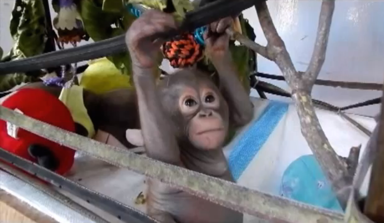 Making Progress! Budi the Rescued Orangutan is Learning to Climb