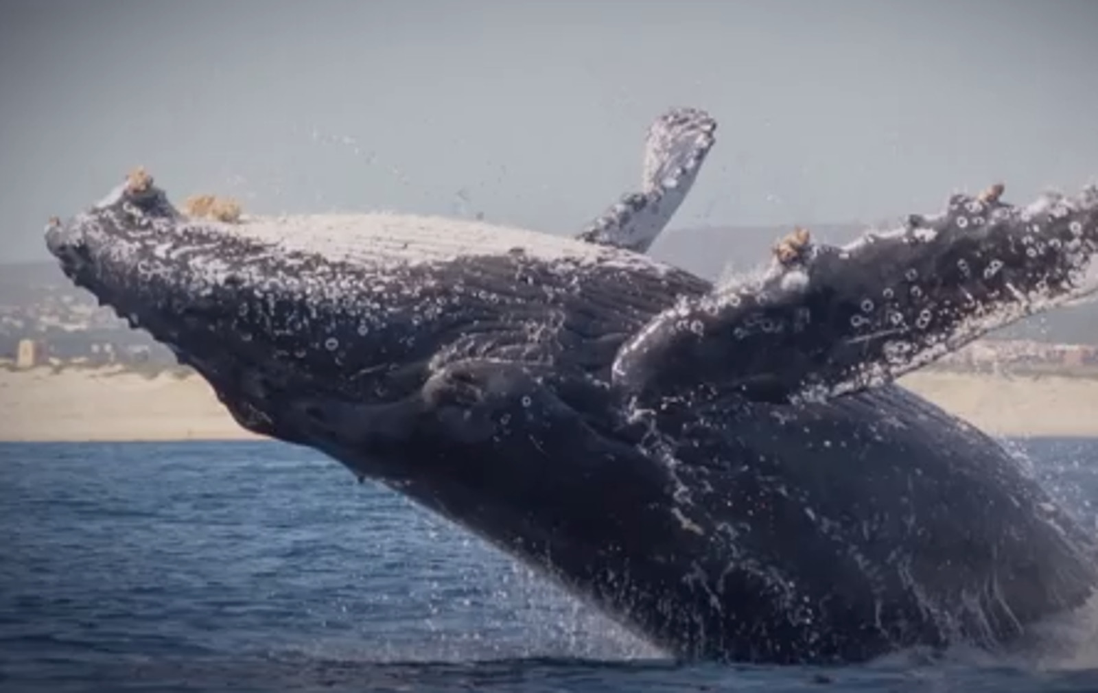Wild Humpback Whale Puts on a Show That Puts SeaWorld Spectacles to Shame (VIDEO)