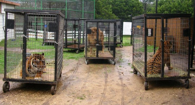 How Life for a Circus Tiger Compares to the Life of a Wild Tiger