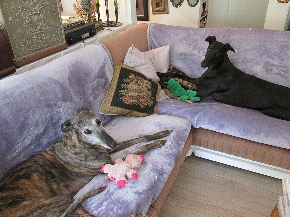 Think You Know All There is to Know About Greyhounds? 10 Common Myths, Busted!