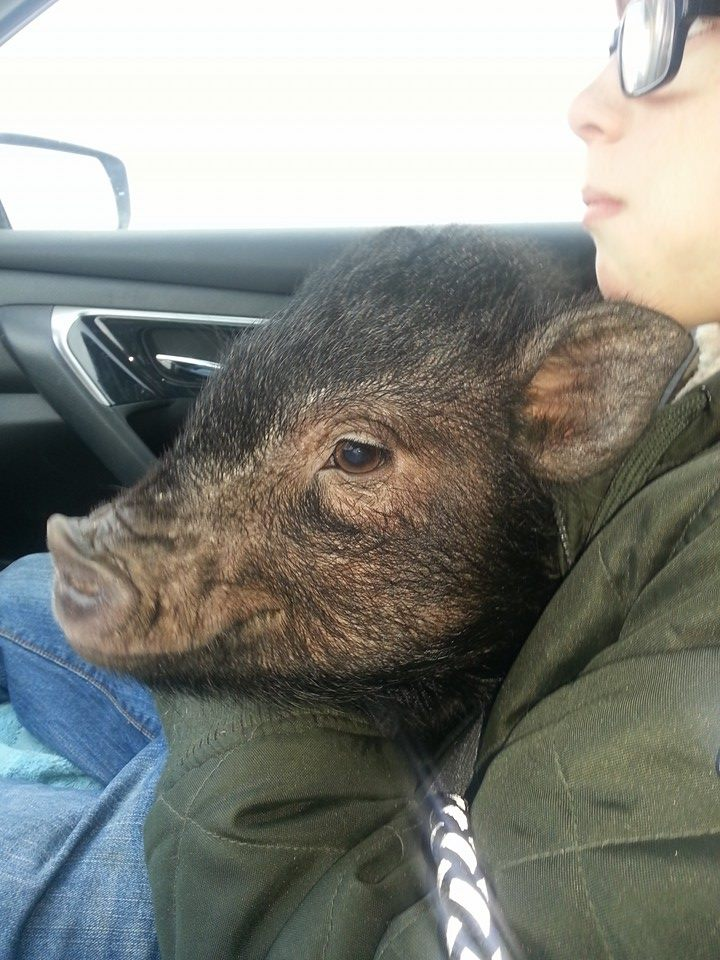 Woman Snuggles With Sick Pig and Sings Him a Sweet Lullaby (VIDEO)