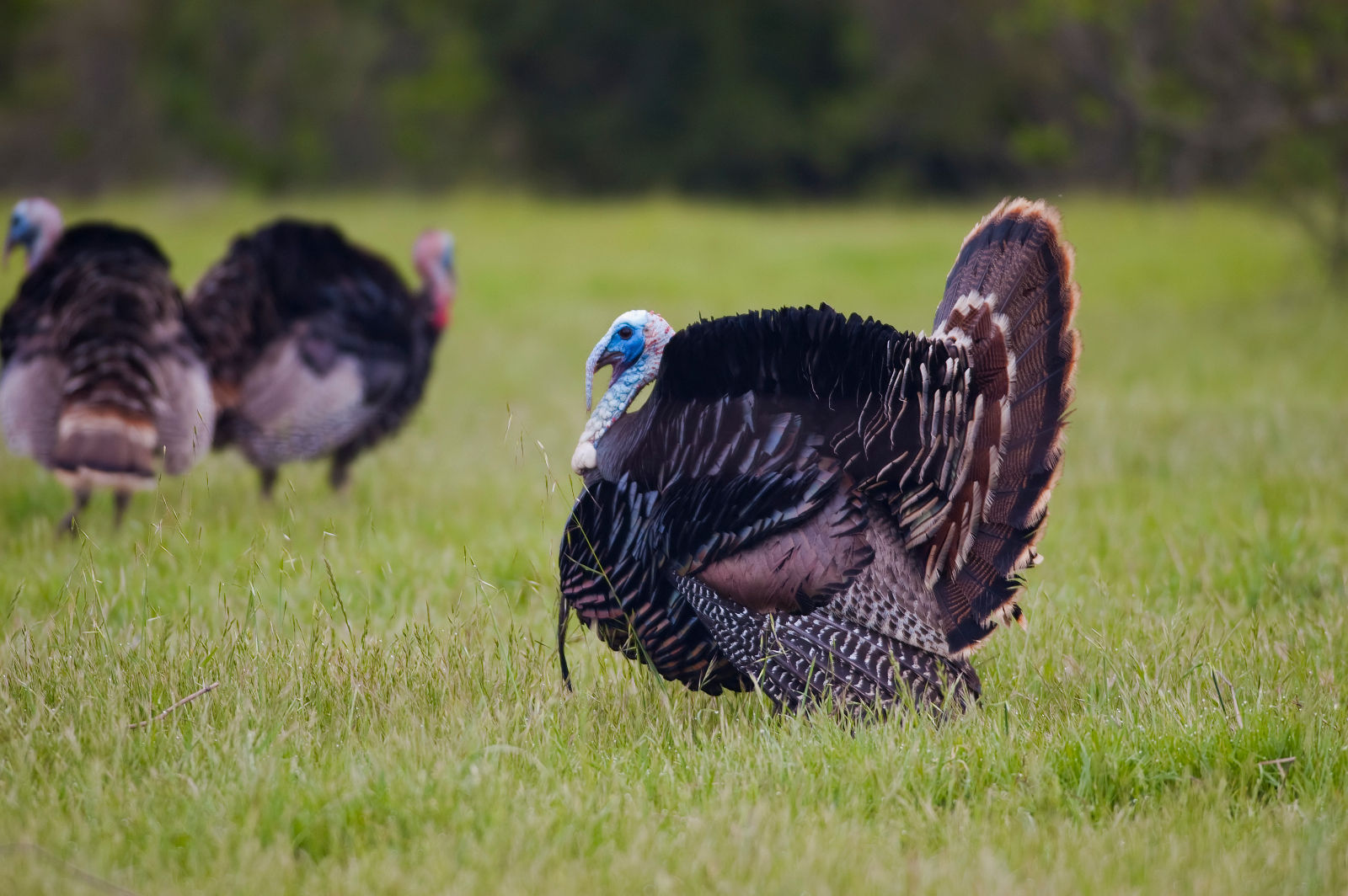 11-Fun-Facts-About-Turkeys