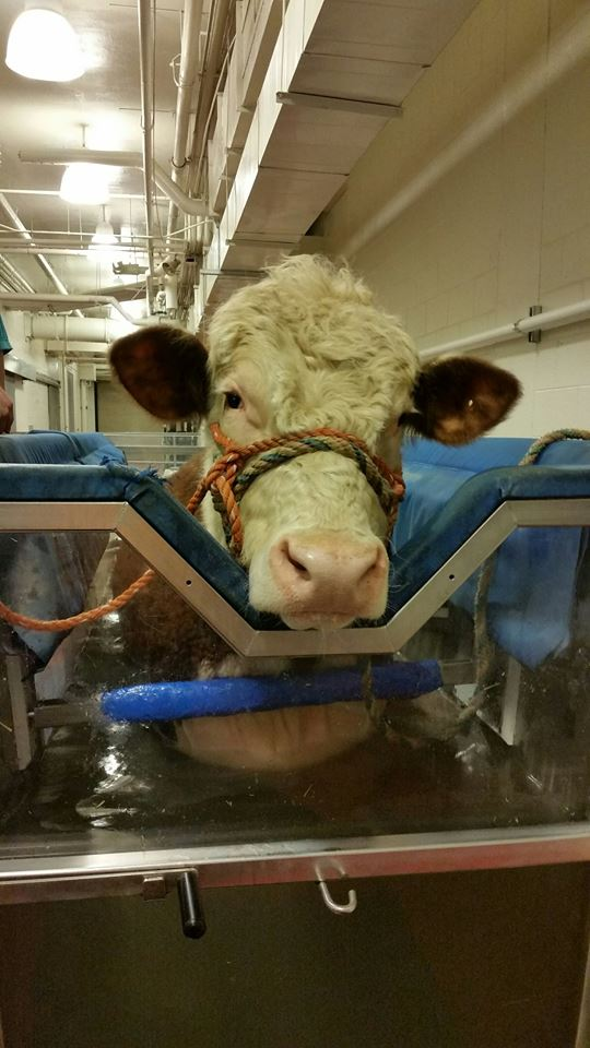 Dudley the cow