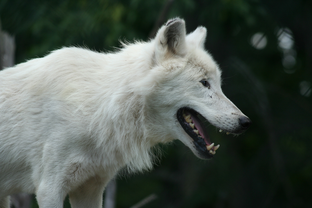 5 Sanctuaries Working to Save Abused and Neglected Wolves and Wolf-hybrids