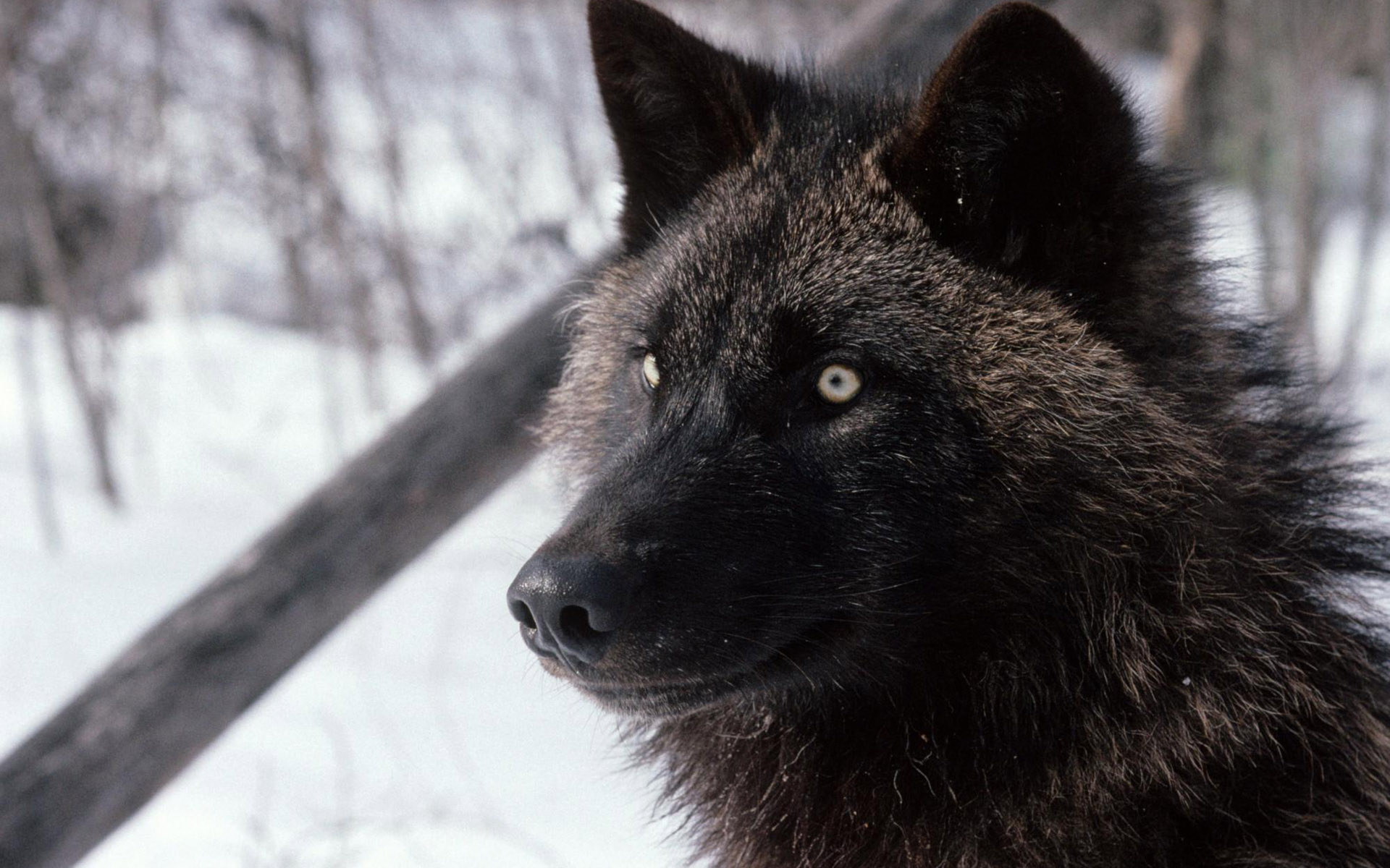 7 sanctuaries helping wolf and wolf dogs
