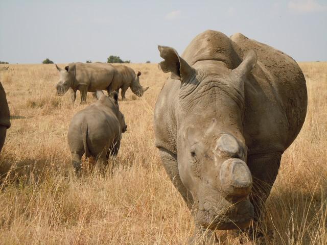 Dehorned-Rhino-640x480