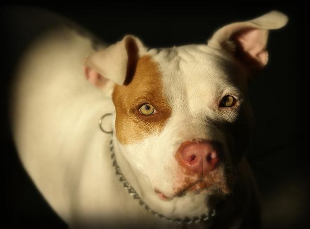 5 pit bull myths