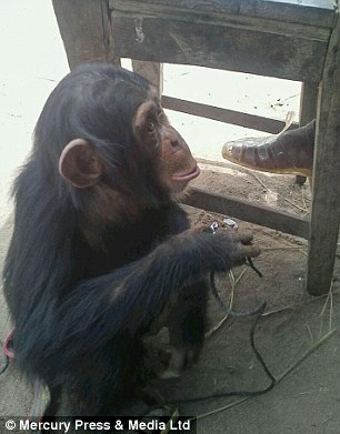 Orphaned Baby Chimp Rescued After Being Held in a Box for 2 Weeks by Wildlife Traffickers